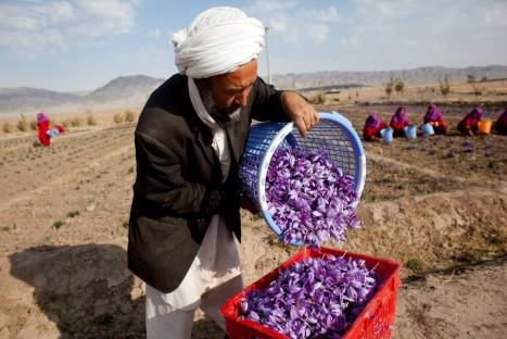 Saffron Harvested in Herat