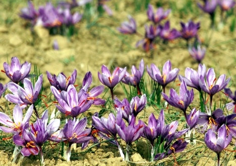 FOR USE WITH FEATURE STORY KASHMIR SAFFRON.