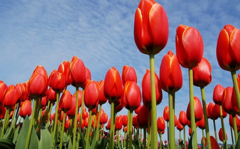 tulip_national_flower_afghanistan