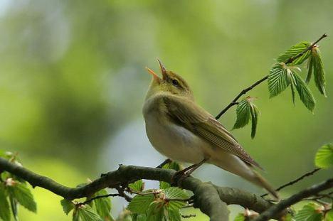 bird-singing2