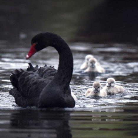 black-swan-cygnets_2149407i
